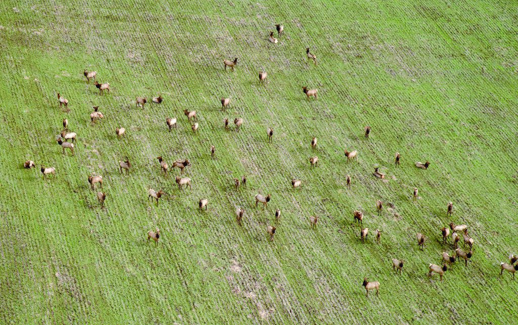 Part of a bigger herd of Rocky Mountain elk graze on upcoming wheat in a field south of the Umatilla River in February. Winter hasn't been too tough on big game this year and with March already here the outlook for more cold gets less and less.