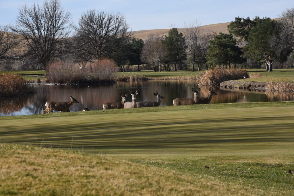 Part of a herd of 15 mule deer pause near a sand trap between the 14th green and a lake at Birch Creek Golf Course Feb. 28. The course was purchased last June by the Confederated Tribes of the Umatilla Indian Reservation. The golf course and clubhouse, including a restaurant, are being managed by Wildhorse Resort.